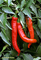HS41-020b  Pepper - red chili pepper, ornamental, Super Chile variety