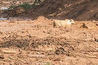 BRUMADINHO, MG, 26.01.2019:ROMPIMENTO DA BARRAGEM EM BRUMADINHO. Animais ilhados no barro apos desastre ambiental na represa da Cia Vale, em Corrego do Feijao-Brumadinho, região metropolina de Belo Horizonte, MG, na tarde desta sexta feira (25) (foto Giazi Cavalcante/Codigo19)