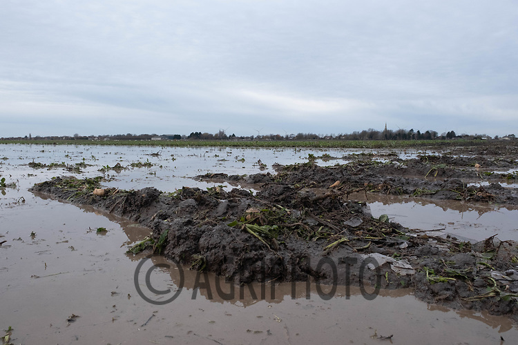 31-1-2021 Waterlogged sugar beet in the Lincolnshire fens. Record rainfall though out December and January have left many farms with flooded fields and crops laying under water.<br /> ©Tim Scrivener Photographer 07850 303986<br />      ....Covering Agriculture In The UK....