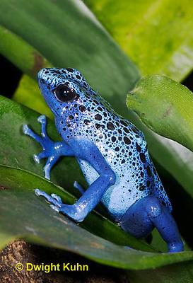 FR24-507z       Blue Poison Arrow Frog, Dendrobates azureus, Central America