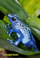 FR24-507z       Blue Poison Arrow Frog, Dendrobates azureus, Central America