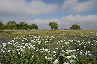 Texas Bluebonnet (Lupinus texensis) White Prickly Poppy (Argemone albiflora), Live Oak (Quercus virginiana) in mixed wildflower field, Floresville, Texas, USA