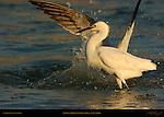 Snowy Egret Losing Prey at Sunrise Sanibel Island Florida