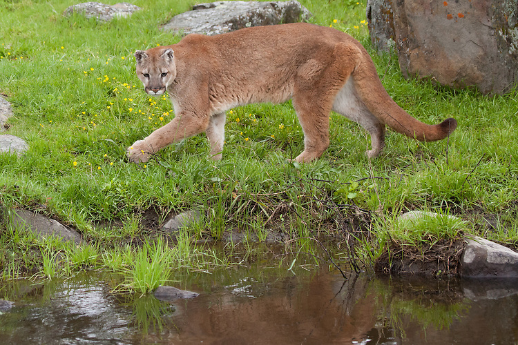 Mountain Lion walking along a river - CA