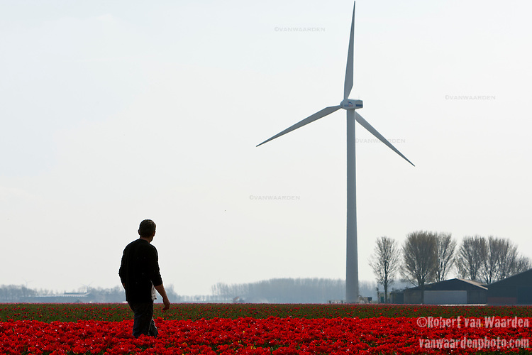 Jaap van der Beek walks amongst his fields of tulips in Middenmeer, the Netherlands. Jaap van der Beek, pilot, wind farmer and farmer in Middenmeer, Holland. Mr. van der Beek owns one windmill on his property. Sensitive to recent decisions to try and group wind mills together from a government level, van der Beek is currently working with other wind mill owners in North Holland to secure a location for a collection of windmills. Until that time, van der Beek will continue to fly his plane and farm his tulips as the windmill powers him and hundreds of other homes.