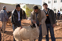 Tripoli, Libya - Eid al-Adha, Id al-Adha.  Checking Teeth and Back before Buying a sheep for the annual feast when Muslims commemorate God's mercy in allowing Abraham to sacrifice a ram instead of his son, to prove his faith.