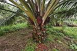 Palm (Elaeis quineesis Jacq) fruits red and yellow ripe with oil ready for harvesting. New Britain Palm Oil Limited