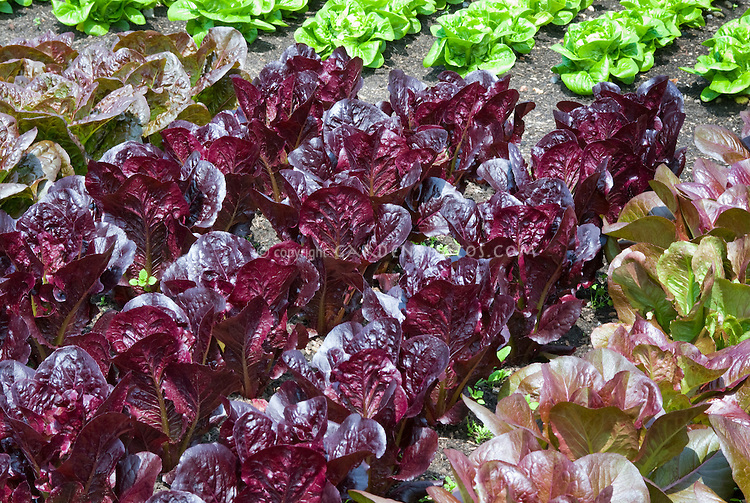 Lettuce Marshall, very deep dark red leaves, romaine cos type , with Lettuce 'Rouge d'Hiver'