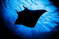reef manta ray, Manta alfredi, Devils Highway, Marovo Lagoon, Florida Island, Solomon Islands, Indo-Pacific Ocean