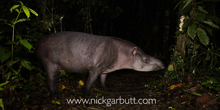 South American or Brazilian Tapir (Tapirus terrestris) at night in lowland rainforest. Manu Biosphere Reserve, Peru.