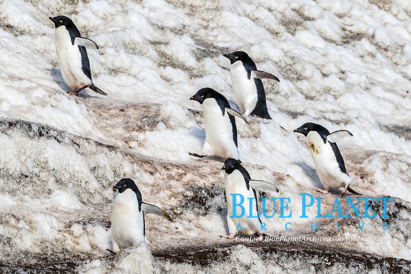 Adelie penguins, Pygoscelis adeliae, walking in penguin highways at Brown Bluff, Antarctica, Southern Ocean