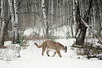 In recent years, loss of habitat and human incursion have brought cougars into more frequent contact with people, Montana, USA
