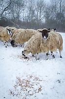 Sheep feeding in the snow -  Rutland, February