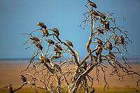 Large vulture committee resting in a dead tree above Masai Mara national park savanna at the border of Kenya and Tanzania, in Africa