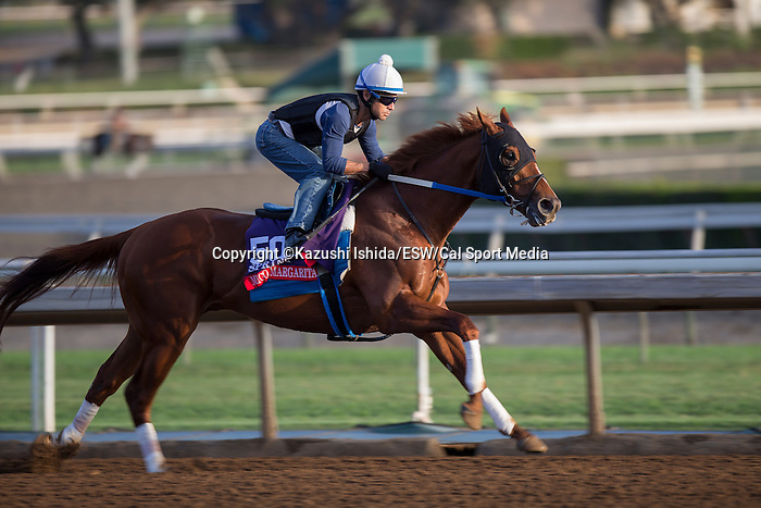 OCT 27 2014:Mico Margarita, trained by Steve Asmussen, exercises in preparation for the Breeders' Cup Xpressbet Sprint at Santa Anita Race Course in Arcadia, California on October 27, 2014. Kazushi Ishida/ESW/CSM