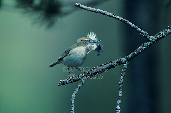 Willow Warbler, Phylloscopus trochilus, adult with feathers as nesting material, Oberaegeri, Switzerland, Europe