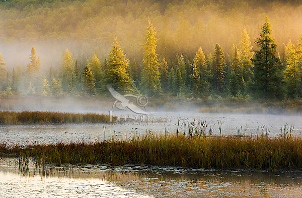 Autumn morning mist rises in marsh along shoreline of tamarack, balsam fir and eastern white pine trees near Lake Opeongo in Algonquin Provincial Park, northern Ontario, Canada.