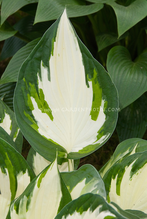 Hosta Hotspur variegated with white center foliage perennial plant, closeup macro of leaves