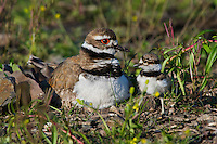 Killdeer (Charadrius vociferus) adult with young chick.  Western U.S., spring.