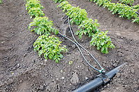 Potatoes watered with T tape - Lincolnshire, June