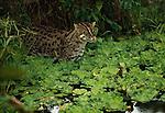 Fishing Cat, Indonesia