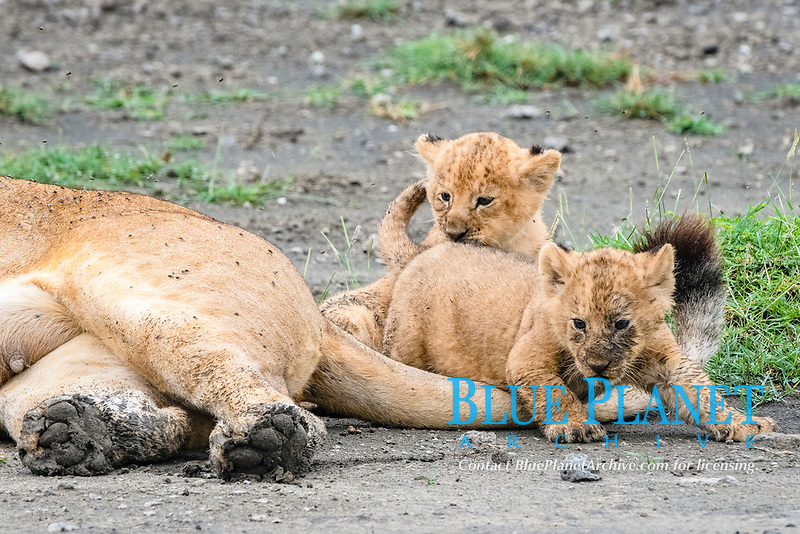 lion (Panthera leo), mother with its 4 weeks old cubs, Ndutu, Ngorongoro Conservation Area, Serengeti, Tanzania, Africa