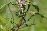 Blaugrüne Mosaikjungfer, Männchen, Aeshna cyanea, Southern Hawker, L´Aeschne bleue