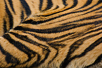 Sumatran Tiger (Panthera tigris) stripes.