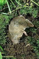 1C22-016a  Burying Beetle - shrew partly buried by beetle - Nicrophorus marginatus