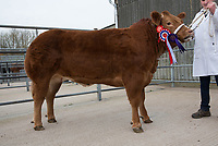 Melton & Belvoir Christmas Fatstock Show & Sale<br /> Melton Mowbray,Leicestershire<br /> Beef Champion <br /> ©Tim Scrivener 07850 303986