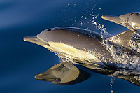 Long-beaked Common Dolphin (Delphinus capensis), adults, porpoising, Sea of Cortez, Mexico, Central America