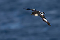 Cape Petrel (Daption capense australe), Snares subspecies, in flight of the coast of the Snares Islands, New Zealand.