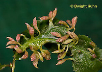 HY16-531z  Spindle Galls on Black Cherry leaf caused by Cherry Ophyid Mite, Phytoptus cerasicrumena