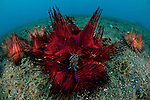 Sea urchins (Astropyga radiata) on the sandy bottom.