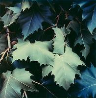 Leaves<br />