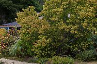 Dodonaea viscosa ssp. angustifolia Sand Olive or Sticky Hopbush in UC Santa Cruz Arboretum and Botanic Garden