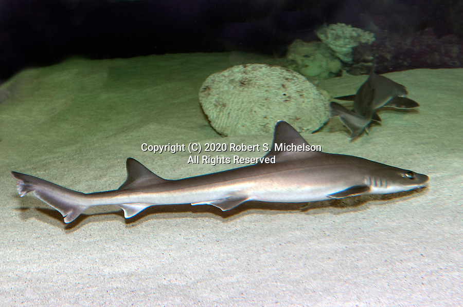 Smooth dogfish swimming right full body shot