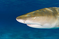 Lemon Shark, Negaprion brevirostris, showing Ampullae of Lorenzini, nostrils, eye, and teeth, West End, Grand Bahama, Bahamas, Caribbean, Atlantic Ocean