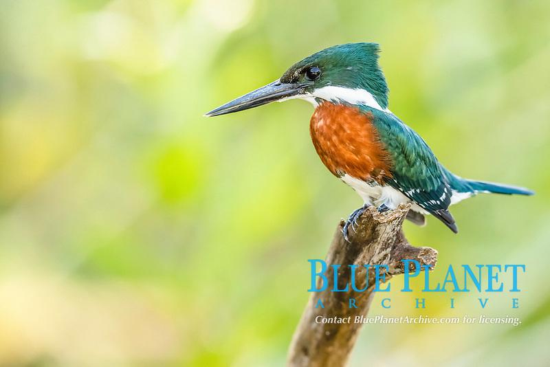 green kingfisher, Chloroceryle americana, adult, male,Porto Jofre, Mato Grosso, Pantanal, Brazil, South America