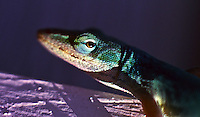 Close-up of a green anole eye, Daytona Beach, FL . (Photo by Brian Cleary / www.bcpix.com)