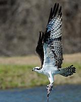 Osprey catches a fish, Inks Lake Fish Hatchery
