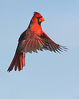 """Northern Cardinal male """"hanging"""" in space."""