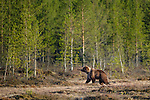 Male Brown Bear (Ursus arctos) at forest edge in early morning sunshine. Late April 2012, Kuhmo, Finland