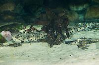 Großer Katzenhai, Großgefleckter Katzenhai, Scyliorhinus stellaris, Squalus stellaris, Greater-spotted dogfish, Greater spotted dogfish, Large-spotted dogfish, Nursehound, Katzenhaie, Scyliorhinidae, Cat shark, cat sharks, Hai, Haie, shark, sharks, spotted dogfish, Greater spotted dogfish, Large-spotted dogfish, Nursehound, Katzenhaie, Scyliorhinidae, Cat shark, cat sharks, Hai, Haie, shark, sharks