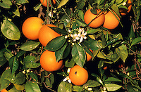 Orange, Apfelsine, reife Orangen am Baum, Früchte und Blüten, Zitrusfrucht, Zitrusfrüchte, Citrusfrucht, Citrusfrüchte, Obst, Obstbaum, Citrus sinensis, Citrus × aurantium, Sweet Orange