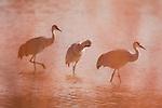 Sandhill Crane (Grus canadensis) trio in pond behind reeds, Bosque del Apache National Wildlife Refuge, New Mexico