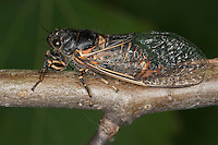 Bergzikade, Berg-Zikade, Bergsingzikade, Berg-Singzikade, Singzikade, Sing-Zikade, Zikade, Cicadetta montana, New Forest cicada