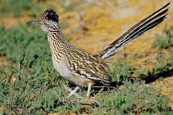 Greater Roadrunner (Geococcyx californianus), Southwest U.S.