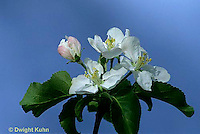 AT04-003a  Apple Tree - spring blossoms