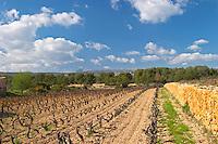 View over the vineyard in spring towards the Ste Baume mountains. Grenache Domaine de la Tour du Bon Le Castellet Bandol Var Cote d'Azur France